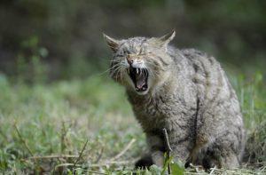 Cat Yawn Outside