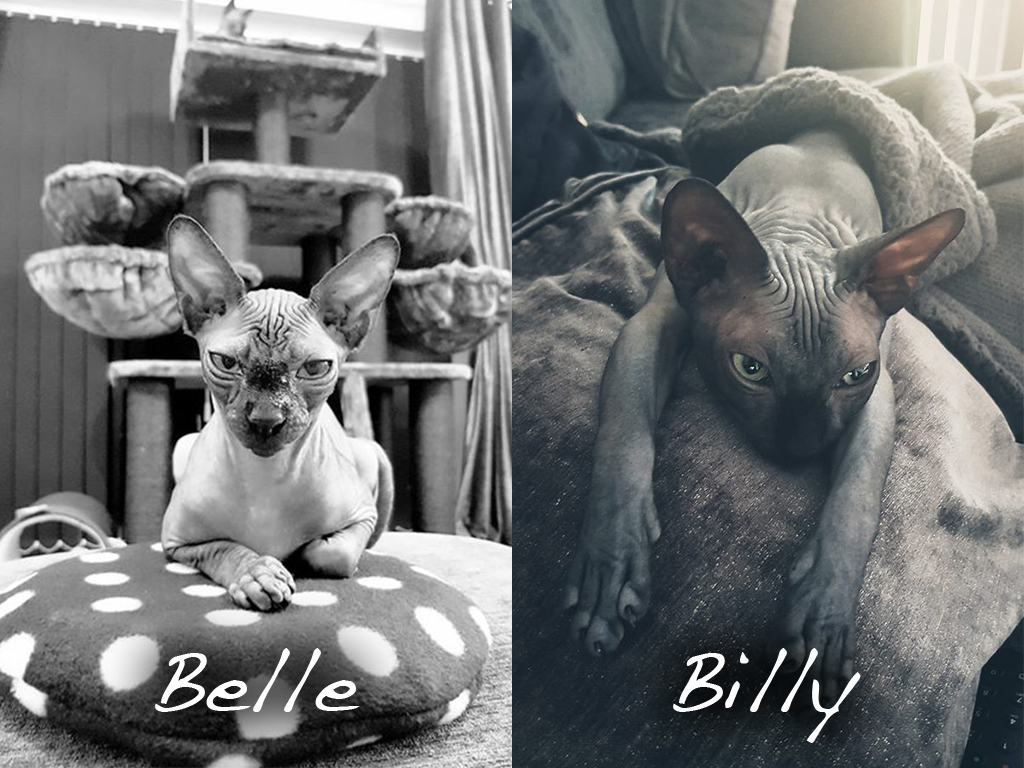Sphynx Cats Belle & Billy - Feline Bahaviour Sessions - The Friendly Pet Nurse
