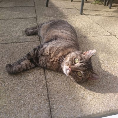Tabby Cat In Garden Being Looked After In Horsham West Sussex