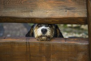 Cute Rescue Dog Looking Through Wooden Boards
