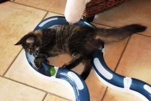 kitten playing with ball and track toy